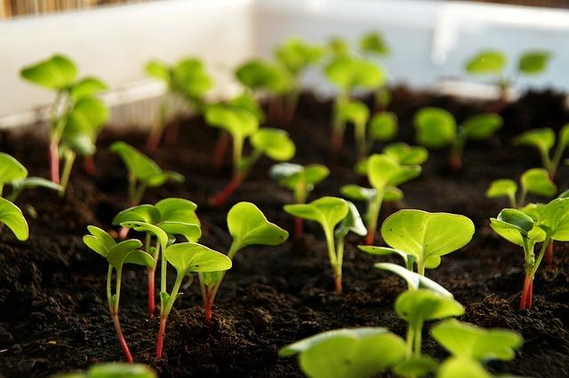 klíčící rostlinky v zemině